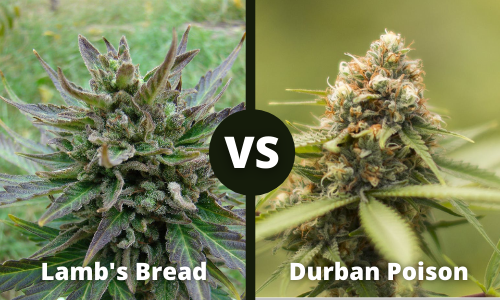 lamb's bread vs durban poison