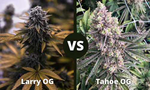 larry og vs tahoe og