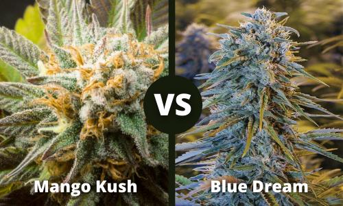 mango kush vs blue dream