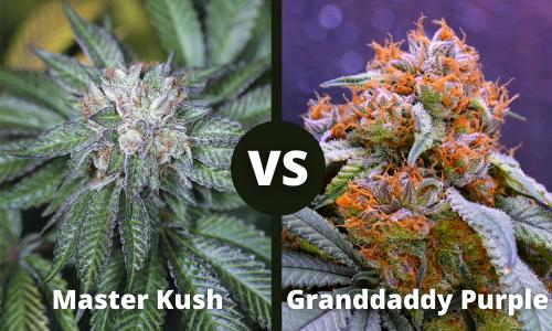 Master Kush vs Granddaddy Purple