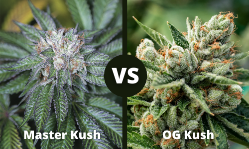 master kush vs og kush