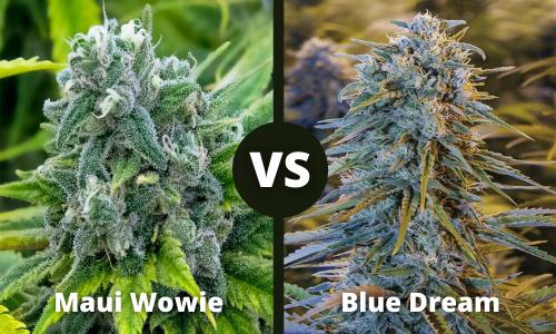 maui wowie vs blue dream