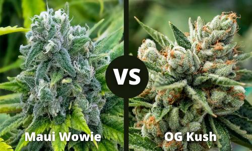 Maui Wowie vs OG Kush