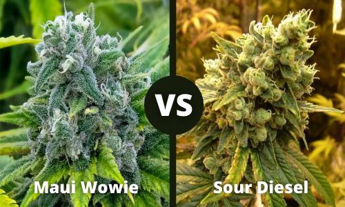 Maui Wowie vs Sour Diesel