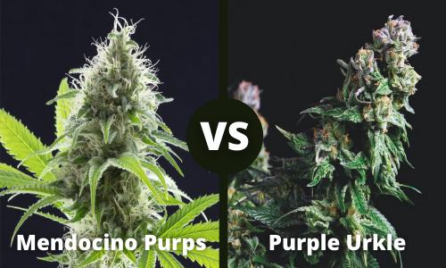 mendocino purps vs purple urkle