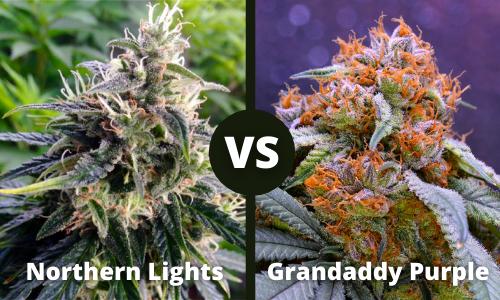 Northern Lights vs Granddaddy Purple