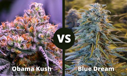 Obama Kush vs Blue Dream