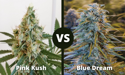 pink kush vs blue dream