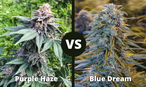 purple haze vs blue dream