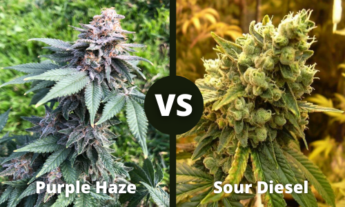 purple haze vs sour diesel