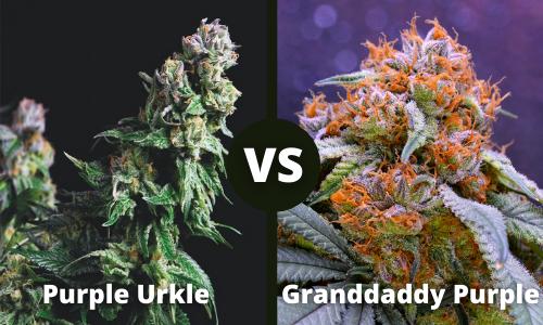 purple urkle vs granddaddy purple