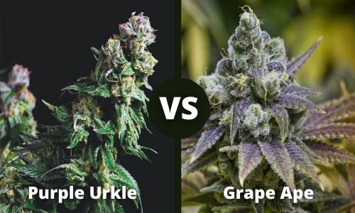 Purple Urkle vs Grape Ape