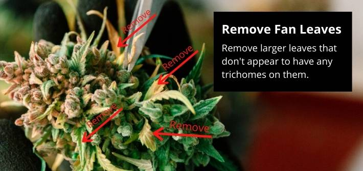trimming cannabis leaves