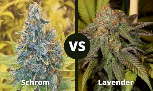 schrom vs lavender