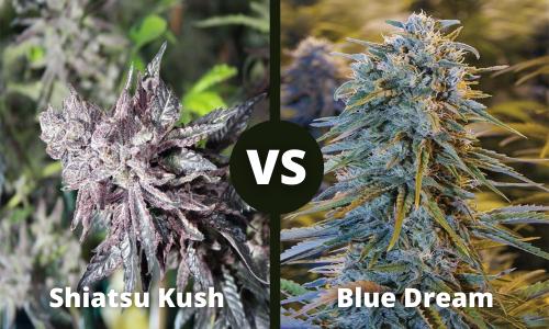 shiatsu kush vs blue dream