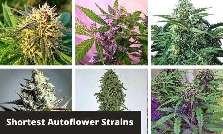 shortest autoflower strains
