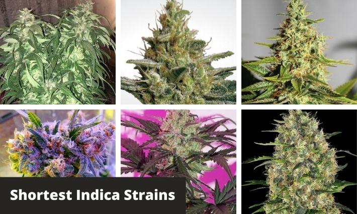 shortest indica strains