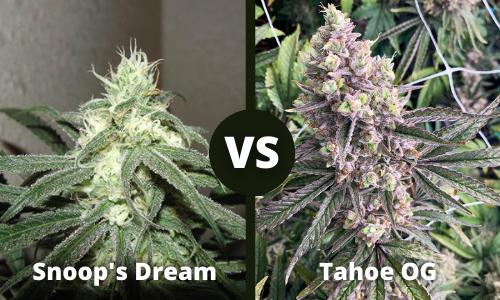 snoops dream vs tahoe og