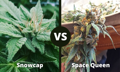 snowcap vs space queen