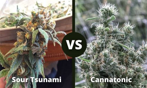 sour tsunami vs cannatonic