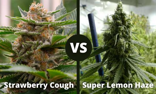 strawberry cough vs super lemon haze