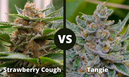strawberry cough vs tangie