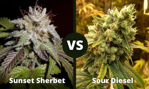 sunset sherbet vs sour diesel