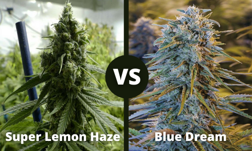 super lemon haze vs blue dream