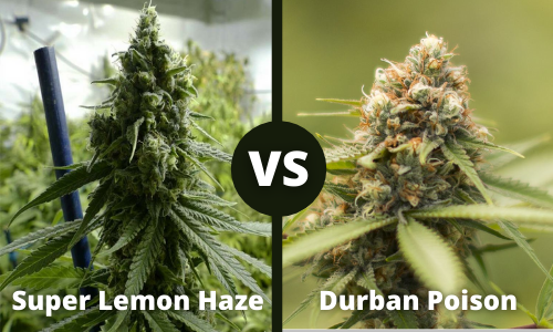 Super Lemon Haze vs Durban Poison