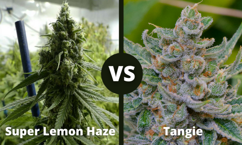 super lemon haze vs tangie