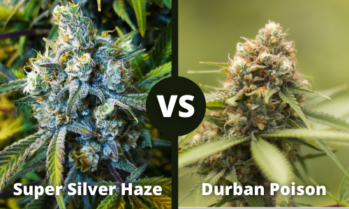 super silver haze vs durban poison
