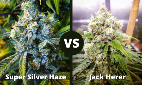 super silver haze vs jack herer