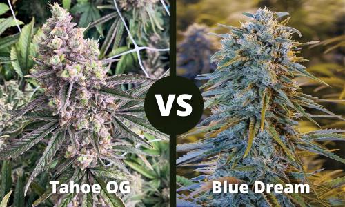 tahoe og vs blue dream