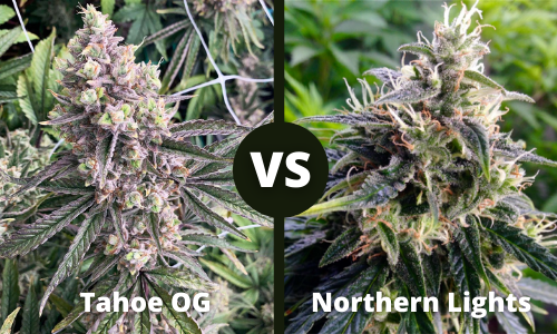 tahoe og vs northern lights