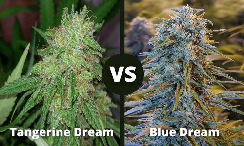 tangerine dream vs blue dream