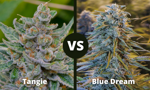 tangie vs blue dream