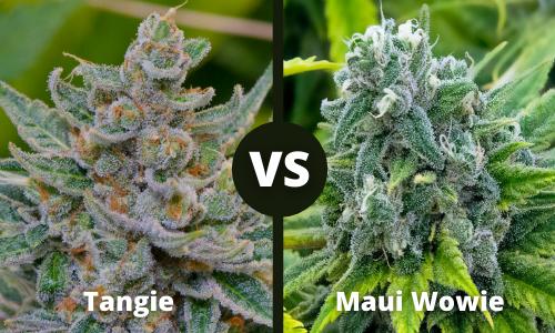 tangie vs maui wowie