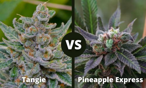 tangie vs pineapple express