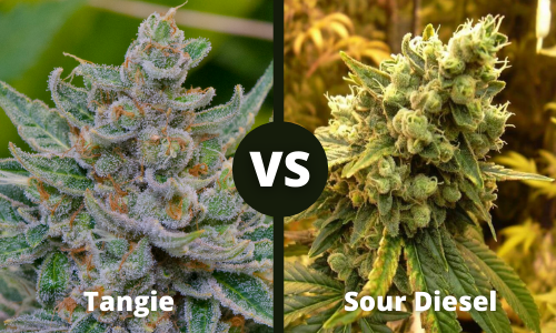 tangie vs sour diesel