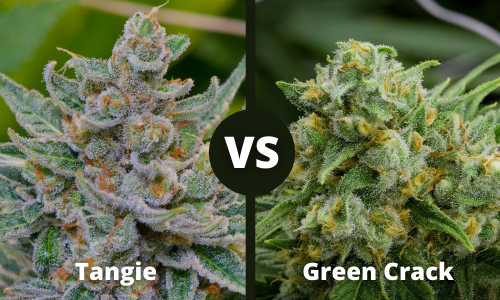 tangie vs green crack