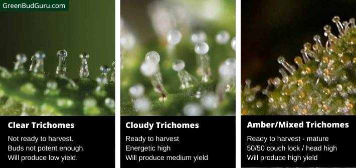 Inspecting trichome maturity