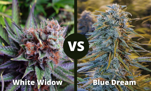 White Widow vs Blue Dream
