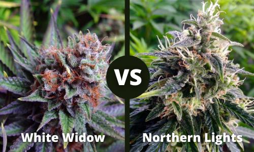 white widow vs northern lights