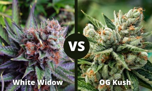 white widow vs og kush