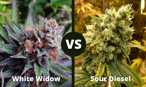 white widow vs sour diesel