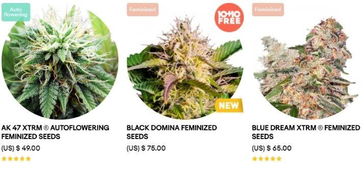 amsterdam marijuana seed strains