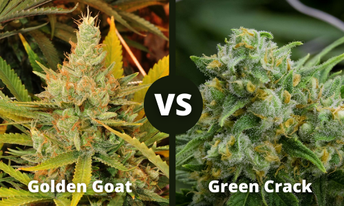 golden goat vs green crack