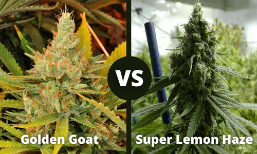 golden goat vs super lemon haze