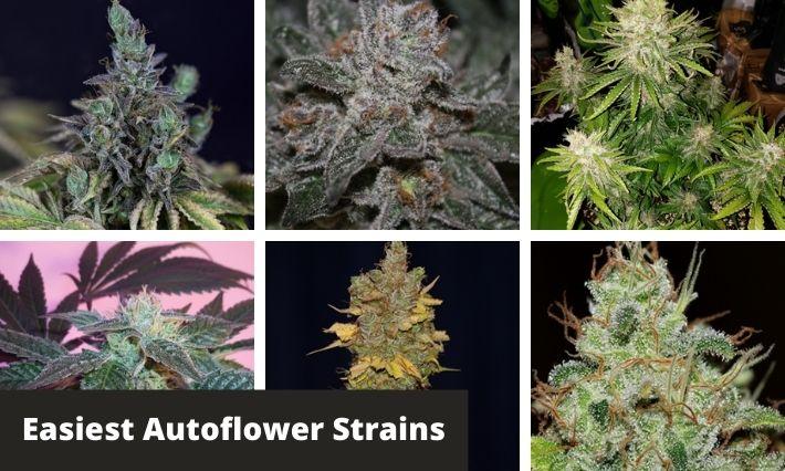 Easiest Autoflower Strains