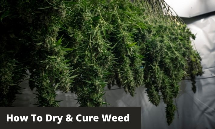 How To Dry And Cure Weed